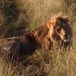African roar
