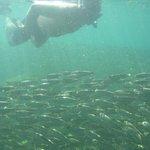 Amazing school of sardines