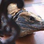 Pool side iguana