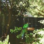 Native Parrots are abundant