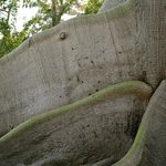 CLOSEUP OF CEIBA TREE ROOTS ABOVE GROUND!