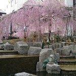 しだれ桜が素敵!