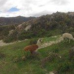 Альпаки по пути к лагуне