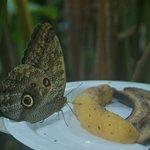 Owl butterfly feeding on banana