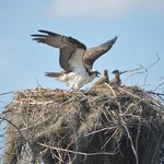 Osprey with her young!