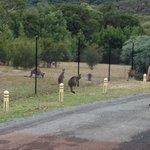 Kangaroos on property