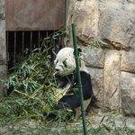 Панда есть