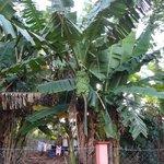Les bananiers du jardin voisin