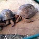 Giant tortoises at Pamplemousses Botanical Gardens