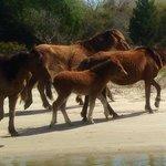 New foal born 1st. Part of Jan. 2014 on the Rachel Carson Reserve.