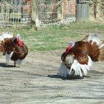 Red Oak ll MO Turkey Hosts