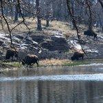 buffalo at the lake