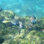 Praia do Porto de Santo Antonio - peixes cirurgiões