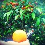 Апельсины лучше не срывать, но я не смогла удержаться-это же была мечта)))))