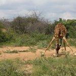 Itaga  - Giraffes
