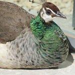 A few peacocks have full roaming power