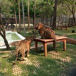 At the Tiger Zoo with 3 big cats