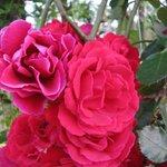 Множество красивых роз!