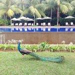 Beautiful peacock near the Cochin Pool