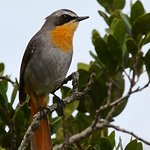 This Cape Robin hops around near reception