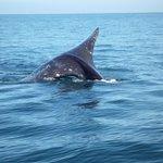 Queue de baleine grise