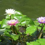 Lotus flowers in the pool surrounding central courtyard