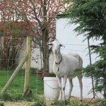 Cailin, the goat