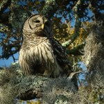 Barred owl at the GTM Research Reserve