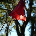Copihue, chilenische Nationalblume (eine Schlingpflanze!)