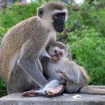 rodziny małp