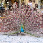 Peacock resides on property