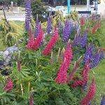 Lupines in Utaka's Garden
