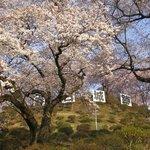 桜の頃 朝の公園