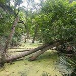 Swamp and Palmettos