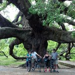 Live Oak Tree estimated to be over 250 years old in park in Jacksonville Fl.