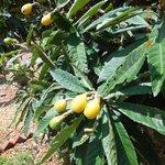 Mango Tree at Selby Gardens