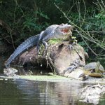 Alligator sharing a log
