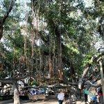 Banyan tree outside your window