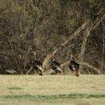 Fort Larned Turkeys