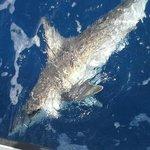 5ft grey reef shark caught with Lahela Sportfishing 4/11/14