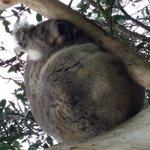 It's a koala, not a koala bear!