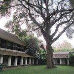 'The' Tamarind tree