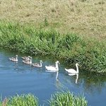 Family of Swans on the Louth Canal