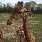 Girafe qui vient se nourrir