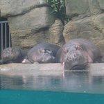 Lazy Hippos!!
