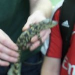 Crocodiles are brought out for the children to touch and learn about