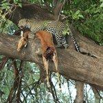 Leopardo hembra subiendo su presa al árbol