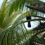 Toucan in a palm tree.