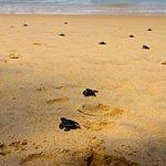 на пляже у отеля черепаха отложила яйца. во время моего отдыха маленькие черепашата вылупились