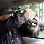 feeding the yaks